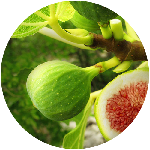 Pure Ficus carica fruit (Fig) extract
